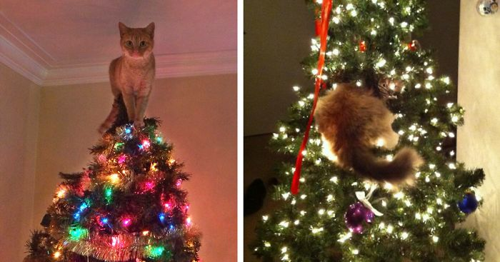 Unfortunately, many of the things that people love about Christmas can be potentially dangerous to cats.